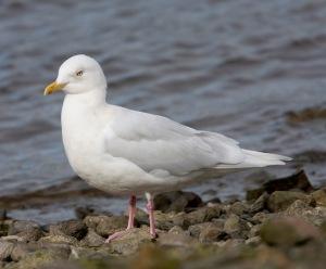 Iceland Gull 16 (David Dillon)