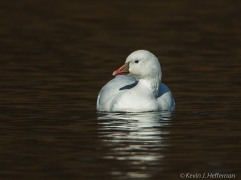 Ross's Goose, photo by Kevin Heffernan