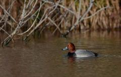 Redhead duck, photo by Anthony Vanschoor