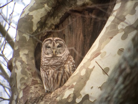 Barred Owl, Photo by Howard Patterson with phonescope adapter