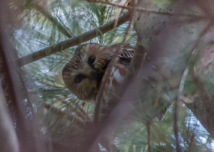 Northern Saw-whet Owl KK-2567