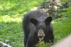 Black bear in Western Howard County, 6/26