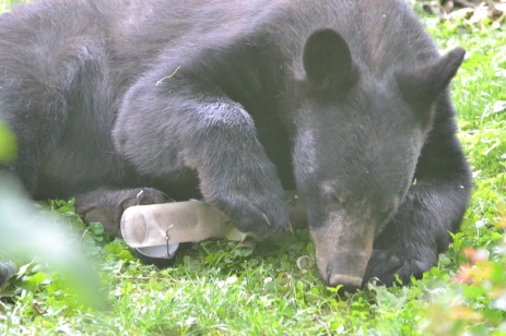 Black bear in Western Howard County, 6/26