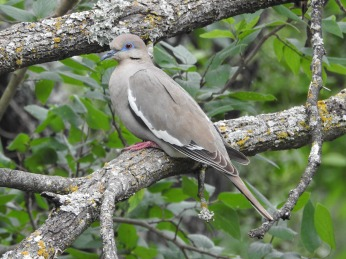 White-winged Dove - Pedernales Falls SP