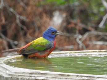 Bathing Painted Bunting - Pedernales Falls SP