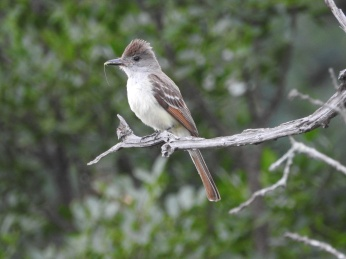 Ash-throated Fycatcher, Love Creek Preserve