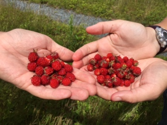Wild strawberry picking (and eating!) in the bog
