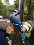 Banding a Blue Jay